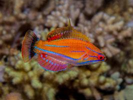 McCoskers Zwerglippfisch - Paracheilinus mccoskeri