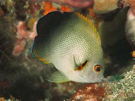 Perlschuppen Zwergkaiserfisch - Centropyge vroliki