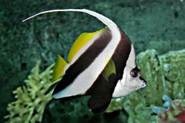 Rotmeer Wimpelfisch - Heniochus acuminatus