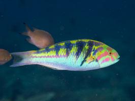 Hardwicks Lippfisch - Thalassoma hardwicke
