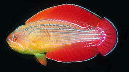 Rotmeer-Zwerglippfisch - Paracheilinus octotaenia
