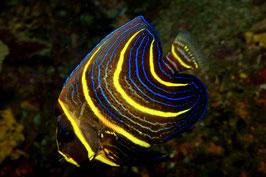 Cortez Kaiserfisch juvenil - Pomacanthus zonipectus