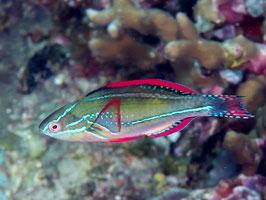 Pracht Zwerglippfisch - Cirrhilabrus exquisitus