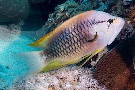 Stülpmaul Lippfisch - Epibulus insidiator