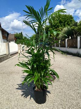 Chamaedorea seifrizii (Bambuspalme)