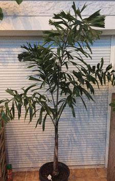 Wodyetia bifurcata (Fuchsschwanzpalme) ca.250cm