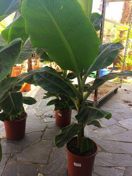 Musa acuminata (Dwarf Cavendish banana)