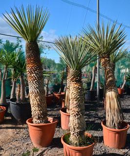 Yucca rigida bis -18°C (aus Mexiko)