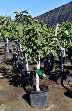 """Feigenbaum """"Ficus carica"""""""