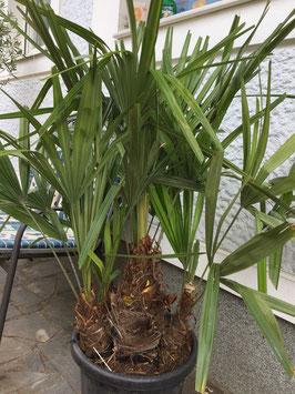 Rhapidophyllum hystrix bis -24°C