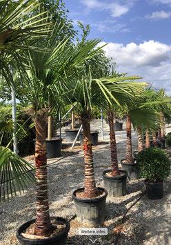 """Trachycarpus fortunei """"elegans"""" geschält H220/240 Stamm 90/100"""