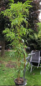 Riesenbambus ca. 300+cm