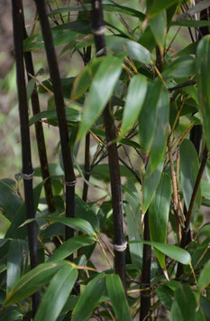 Phyllostachys nigra bis -20°C
