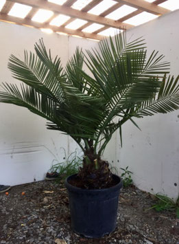 Jubaea chilensis ST20/25 H130/150 bis -15°C