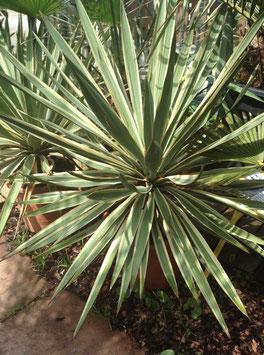 Yucca gloriosa variegeta bis -24°C stammbildend