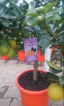 Orange Calabrese