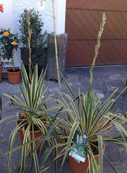 Yucca filamentosa variegata bis -18C