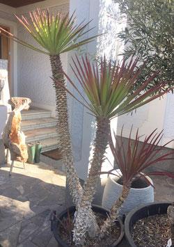 """Yucca aloifolia bis -15C """"Einzelstück"""""""