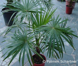 Livistona chinensis -6 bis -8°C