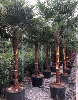 """Trachycarpus fortunei """"elegans"""" auf Kokosstamm geschält H300/320 Stamm 120/140"""