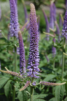 VERONICASTRUM TEMPTATION