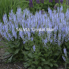SALVIA Crystal Blue