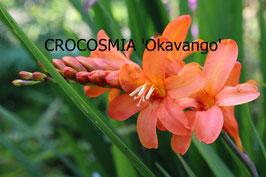 CROCOSMIA Okavango
