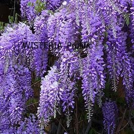 WISTERIA sinensis Prolific AGM