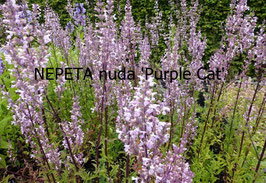 NEPETA nuda Purple Cat