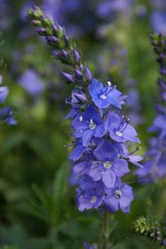 VERONICA austriaca subsp. teucrium Lapis Lazuli