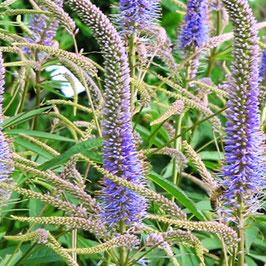 Veronicastrum virginicum Lavendelturm AGM