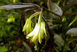 DISPORUM longistylum 'Night Heron'