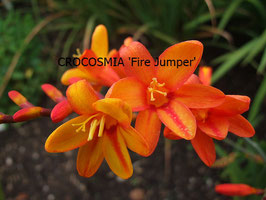 CROCOSMIA Fire Jumpe