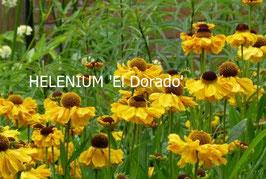 HELENIUM El Dorado