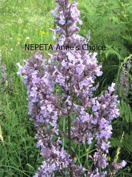 NEPETA nuda Anne's Choice