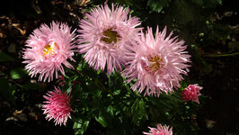 ASTER Ice Cool Pink