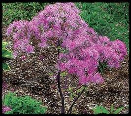 Thalictrum Black Stockings AGM