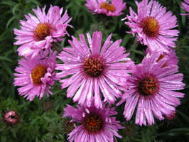 ASTER n.a. Barr's Pink