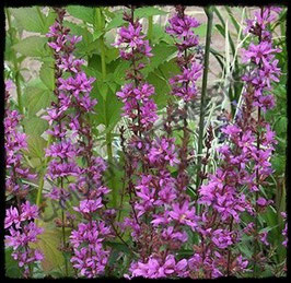 Lythrum Dropmore Purple