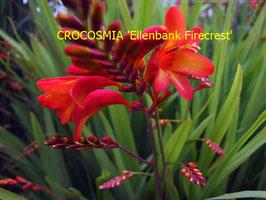 CROCOSMIA Ellenbank Firecrest
