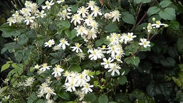 CLEMATIS Paul Farges' AGM