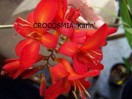 CROCOSMIA Karin