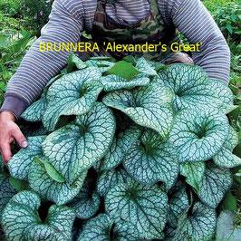 BRUNNERA Alexander's Great