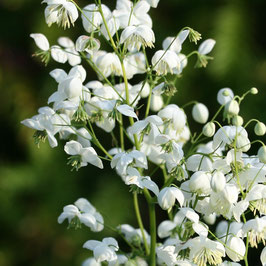 THALICTRUM Splendide White AGM