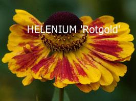 HELENIUM 'Rotgold'