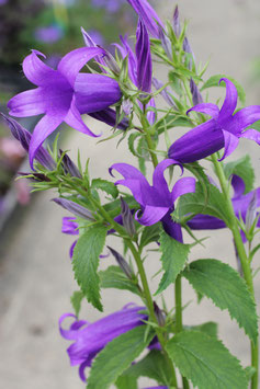CAMPANULA sibirica Royal Wedding
