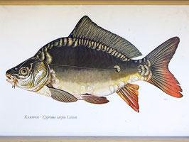 Unikat:  Vintage Schul Wandkarte Fische KARPFEN