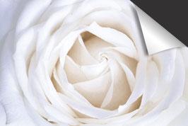 Weiße Rose-Induktionsschutz