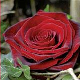 Karte Rote Rosen