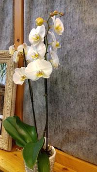Orchidee weiss im Dekotopf